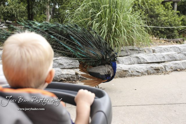 Charlie watches as the resident peacock fans out its feathers.